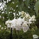 Buy Syringa vulgaris Madame Lemoine (Common Lilac) online from Jacksons Nurseries