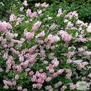 Buy Syringa pubescens subsp. patula 'Miss Kim' (Miss Kim Lilac) online from Jacksons Nurseries