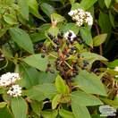 Buy Viburnum tinus (Laurustinus) online from Jacksons Nurseries