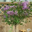 Buy Syringa meyeri Palibin Lollipop (Korean Lilac) online from Jacksons Nurseries