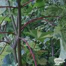 Buy Acer pseudoplatanus Hermitage (Sycamore) online from Jacksons Nurseries
