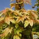 Buy Acer pseudoplatanus Brilliantissimum (Japanese Maple) online from Jacksons Nurseries