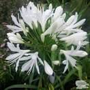 Buy Agapanthus africanus Albus (African Lily) online from Jacksons Nurseries