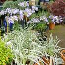 Buy Agapanthus Silver Moon (African Lily) online from Jacksons Nurseries