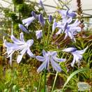 Buy Agapanthus africanus Baby Blue (African Lily) online from Jacksons Nurseries