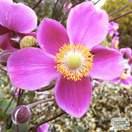 Buy Anemone hupehensis Hadspen Abundance online from Jacksons Nurseries