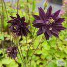 Buy Aquilegia vulgaris var. stellata 'Black Barlow' (Granny's Bonnet) online from Jacksons Nurseries