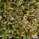 Buy Arabis procurrens Variegata (Rock Cress Bloom) online from Jacksons Nurseries