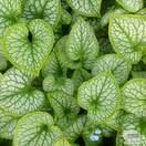 Buy Brunnera macrophylla Jack Frost (Siberian bugloss) online from Jacksons Nurseries