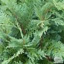 Buy Chamaecyparis lawsoniana Pembury Blue online from Jacksons Nurseries