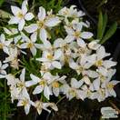 Buy Choisya x dewitteana White Dazzler (Mexican Orange Blossom) online from Jacksons Nurseries