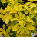 Buy Choisya ternata Sundance (Mexican Orange Blossom) online from Jacksons Nurseries