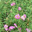 Buy Cistus x purpureus (Orchid Rock Rose) online from Jacksons Nurseries