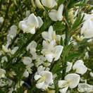 Buy Cytisus praecox Albus (Broom) online from Jacksons Nurseries
