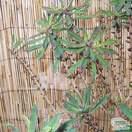 Buy Daphne mezereum rubra (Daphne) online from Jacksons Nurseries
