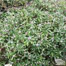 Buy Daphne odora Aureomarginata (Daphne) online from Jacksons Nurseries.