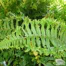 Buy Dryopteris affinis 'Cristata' (Golden Male Fern) online from Jacksons Nurseries