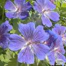 Buy Geranium x magnificum online from Jacksons Nurseries