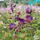 Buy Geranium phaeum online from Jacksons Nurseries