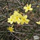 Buy Jasminum nudiflorum online from Jacksons Nurseries