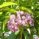 Buy Kalmia latifolia Pinwheel (Mountain Laurel) online from Jacksons Nurseries