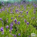 Buy Lavandula angustifolia Munstead online from Jacksons Nurseries
