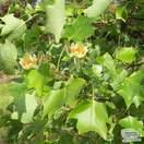 Buy Liriodendron tulipfera (Tulip Tree) online from Jacksons Nurseries