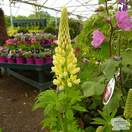 Buy Lupinus Chandelier (Lupins) online from Jacksons Nurseries
