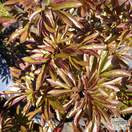 Buy Paeonia lactiflora Duchesse de Nemours  (Peony) online from Jacksons Nurseries