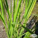 Buy Panicum Heavy Metal at Jacksons Nurseries