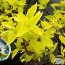 Buy Philadelphus coronarius aureus (Mock Orange) online from Jacksons Nurseries