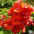 Buy Phlox paniculata Orange Perfection (Garden Phlox) online from Jacksons Nurseries.