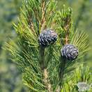 Buy Pinus cembra online from Jacksons Nurseries