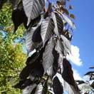 Buy Prunus Royal Burgundy (Japanese Flowering Cherry) online from Jacksons Nurseries