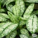 Buy Pulmonaria 'Opal' (Lungwort) online from Jacksons Nurseries