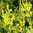 Buy thuja occidentalis Danica online from Jacksons Nurseries