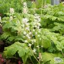 Buy Tiarella Jeepers Creepers from Jacksons Nurseries