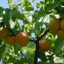 Buy Apricot - Prunus armeniaca Moorpark online from Jacksons Nurseries