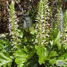 Buy Acanthus mollis (Bear's breeches) online from Jacksons Nurseries