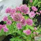 Buy Astrantia Roma (Masterwort) online from Jacksons Nurseries