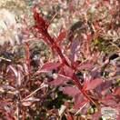 Buy Berberis thunbergii atropurpurea Red Chief (Barberry) online from Jacksons Nurseries.