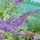 Buy Buddleja Lochinch (Butterfly Bush (Buddleja)) online from Jacksons Nurseries