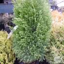 Buy Chamaecyparis lawsoniana Ellwood's Gold online from Jacksons Nurseries