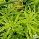 Buy Choisya Goldfingers (Mexican Orange Blossom) online from Jacksons Nurseries