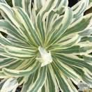 Buy Euphorbia characias 'Tasmanian Tiger' (Evergreen Spurge) online from Jacksons Nurseries