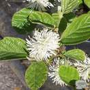 Buy Fothergilla major (American wych hazel) online from Jacksons Nurseries