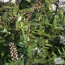 Buy Hebe Champagne (Shrubby Veronica) online from Jacksons Nurseries