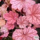 Buy Heuchera Berry Smoothie online from Jacksons Nurseries.