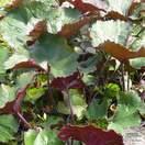 Buy Ligularia dentata 'Britt-Marie Crawford' in the UK at Jacksons Nurseries
