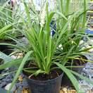 Buy Liriope muscari Monroe White (Monroe White Lily-turf) online from Jacksons Nurseries.